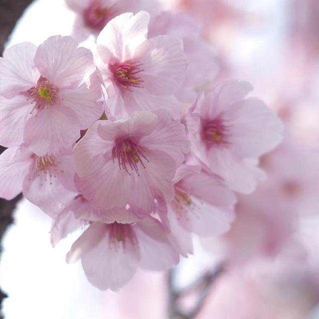 サクラ。といっても早咲きの陽光?と思うけど、キレイに咲いてました。さて、iPhone7plusで撮影した写真は何枚あるでしょう?