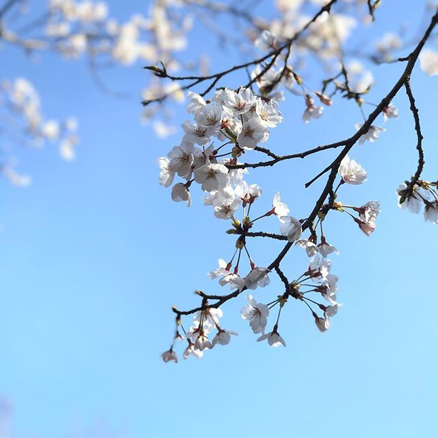 今日の桜。iPhone7plusとドローンで撮影してみた。今年は天気に恵まれてるので、撮影しがいがあるねぇ。
