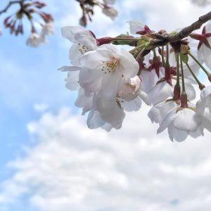 最近桜の写真はデジイチ使ってばっかりだけど、条件が良ければiPhoneでもいい写真が撮れるんだっ!てことを実現してみたの図の、桜。#iPhoneでもできるもん!