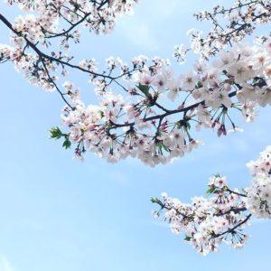 まだだ、まだ、散らんよ!もうちょっと楽しめますよ、桜。撮影地/松山市コミセン 「愛媛県3社共催 @kaizoku24 @fmmarche @sarala_hime の#海賊桜フォトコン2019 にエントリー中!」