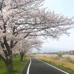 休みなのにちょっと早起きして嫁ちゃんと桜の写真を撮りに行く。しこたま撮影できて満足じゃ。桜の写真を撮るなら、花見客とかがいない朝っぱらが一番ですな。#桜 #さくら #サクラ #東温市 #愛媛県 #重信川 #春 #早起き 「愛媛県3社共催 @kaizoku24 @fmmarche @sarala_hime の#海賊桜フォトコン2019 にエントリー中!」