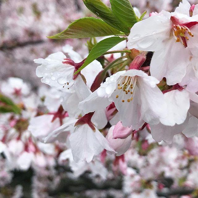 雨ー昨日の夜から降り続く雨ー。あーあ、これで桜の季節も終わりだなぁ。もう少し、愛でていたかった…。 撮影地/松山市コミセン 「愛媛県3社共催 @kaizoku24 @fmmarche @sarala_hime の#海賊桜フォトコン2019 にエントリー中!」