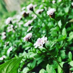 地ベタに群生してる花。なんて名前なんだろう?