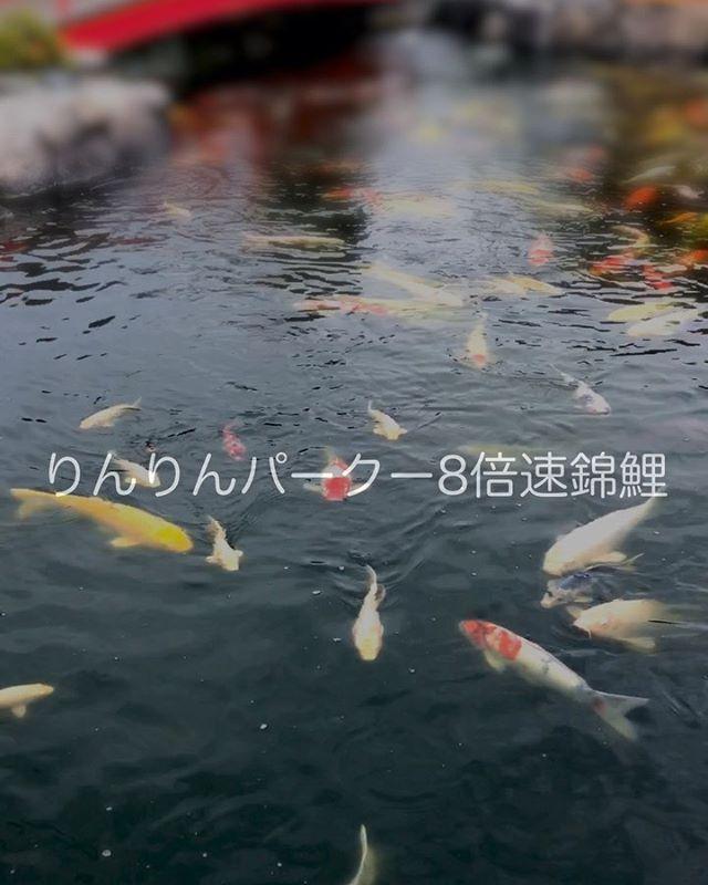 りんりんパークーの錦鯉の姿を8倍速にしてみた。ゆったり優雅に泳ぐ姿はどこへやら。慌ただしくて忙しない姿は、およそ鯉とは思えぬ別の生命体。ですww#りんりんパークー #りんりんパークじゃないよ #りんりんパークーって昔はりんりんパークだったよね#りんりんパークーの錦鯉#8倍速動画 #日本庭園 #愛媛県 #西条市#西条市小松町 #テーマパーク なのか?