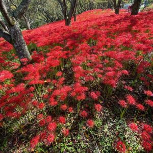 朝から松山市窪野町に足を伸ばして、彼岸花を見に行ってきたー。深紅の絨毯が拡がっていて、なかなかに荘厳な雰囲気。iPhoneで、デジイチで、全天球カメラで、写真と動画、撮りまくってしまいましたww