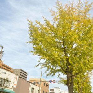 銀杏並木の色づき具合がいい調子。イチョウだけに、イイちょうし。イイチョウシ、イ イチョウ シ…バンザーイ、バンザーイwwww