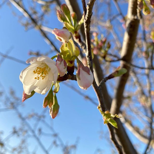 桜探しの旅。今日は東温市。重信川河川敷公園。ほとんどがつぼみだったけど、数輪咲いている樹を発見!まだまだ本格的な開花までには時間がかかりそうです。