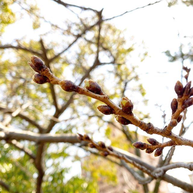 宇和島市では開花したらしいけど、松山市はまだみたいですね。いくつかのつぼみがようやくほころび始めた感じ。週末には開花する、かな?#松山市 #桜 #松山市コミュニティーセンター #開花はまだか #ソメイヨシノ #待ち遠しい春