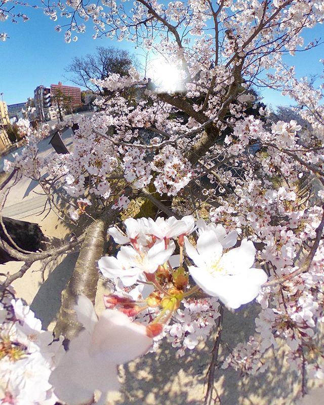 道後公園の桜。満開の木をTHETAで撮影してパノラマ加工してみました。もうちょっとうまく隠れるべきだったなぁ。