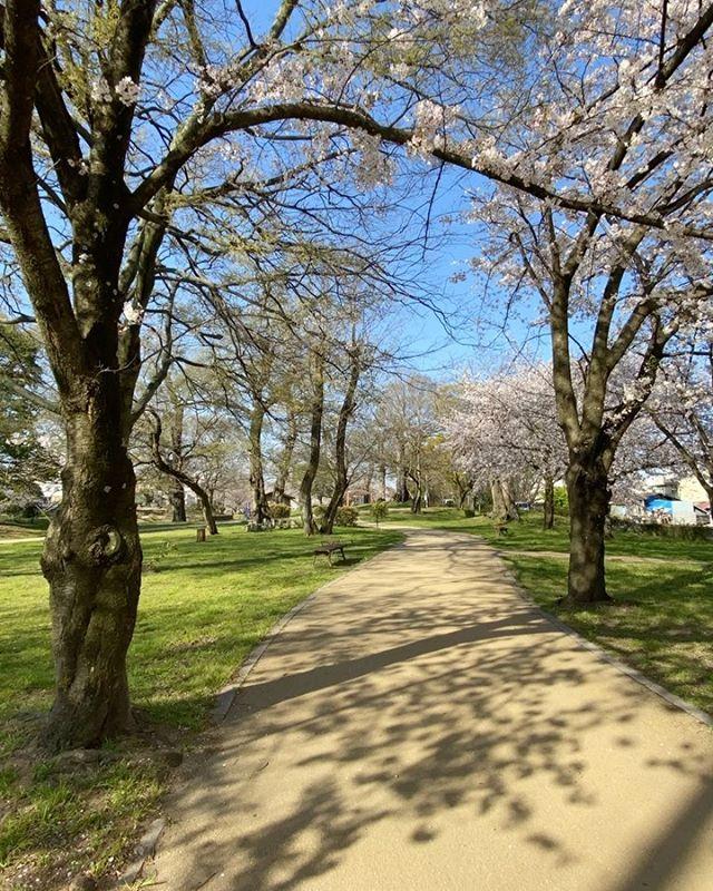 桜咲く石手川公園のチャリ通勤を、タイムラプス撮影してみた。