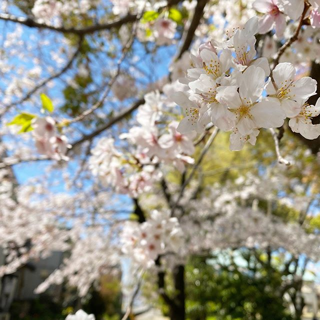 桜。まだまだ満開。外出自粛な方に、少しでも季節の移ろいと春を感じてもらえればいいなぁ。#愛媛県 #松山市 #松山市コミュニティーセンター #桜 #サクラ #満開
