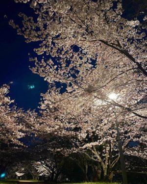 夜の石手川公園。夜桜お七は出てきませんでした。#愛媛県 #松山市 #石手川公園 #桜 #夜桜 #夜桜ライトアップ #iphone11 #ナイトモード