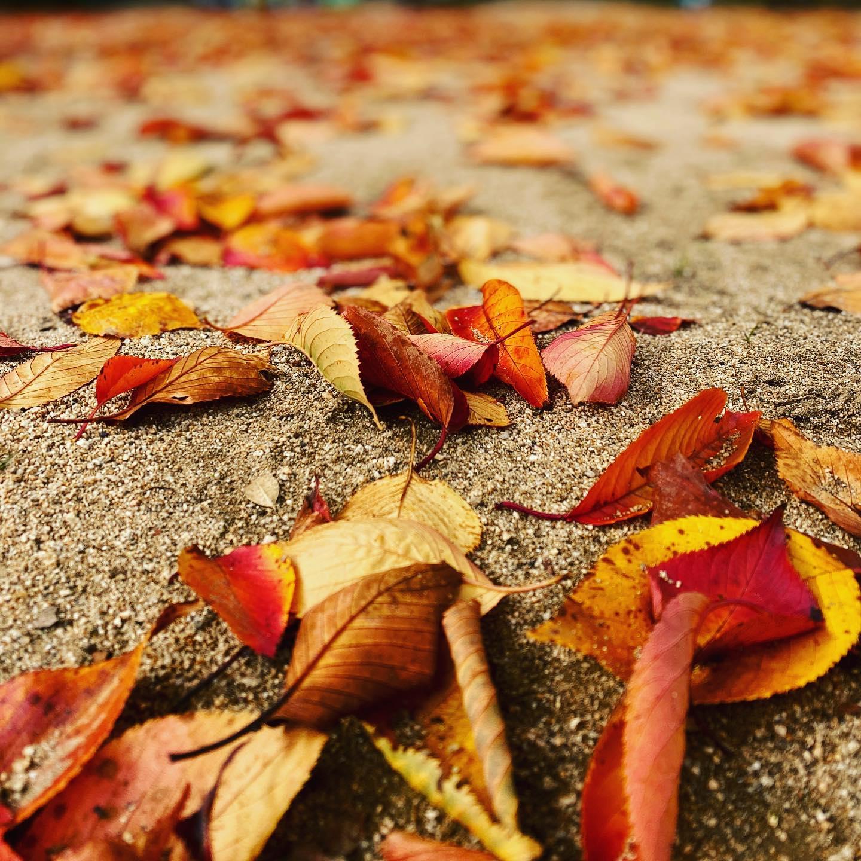 会社近くの公園の落葉。秋ですなぁ。