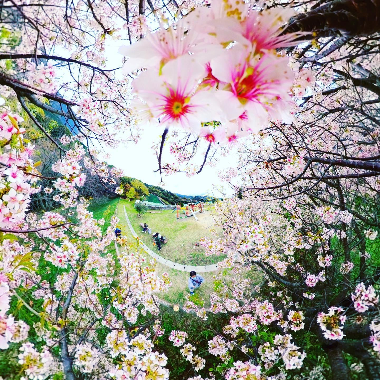 季節はずれの桜?が咲いてた!ので全天球カメラで撮影して加工してみた。フラワーチューブ、ぽいかな?#flowertube