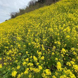 伊予市双海町閏住(うるすみ)へ菜の花を見に行ってきました。なかなかの満開っぷり。線路脇の斜面を埋め尽くす菜の花、いつ見ても圧巻です。