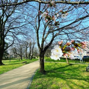 今日(2021/3/19)のサクラ@松山市石手川緑地公園0.5分咲き。ほとんどがまだつぼみ。早めに咲く樹からチラホラ咲き始めた様子。