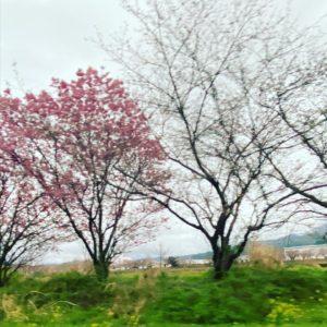 今日(2021/3/21)の桜@東温市見奈良重信川河川敷消防署側の早咲き桜(陽光?)はほぼ満開。対岸のふれあい広場や茶堂公園のソメイヨシノは、1分咲きぐらい。次の土日が見頃ですね。#サクラ #東温市 #重信川