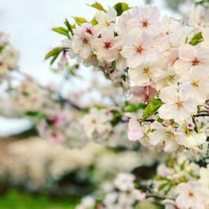 今日(2021/3/21)のサクラ パート2@東温市見奈良某所こちらの桜は早くも満開のモノが数本。菜の花と一緒に咲いている樹もあり、雨上がり&日没寸前で条件はよろしくない中でも、十分に桜の美しさを堪能できましたこちらも一週間後が楽しみです。#さくら #東温市 #見奈良 #菜の花 #桜 #空撮 #ドローン #ドローン撮影 #ドローン花見 #空撮動画 #mavicmini