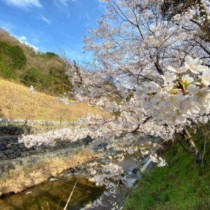 今日(2021/3/24)の桜。@砥部町広田峡の館ひろたヤマザクラとせせらぎ。すぐ近くでさえずるウグイスの声。のどかだねぇ。あ、仕事ですよ、仕事。#さくら #サクラ #砥部町広田 #ウグイス #青空 #春ですねぇ