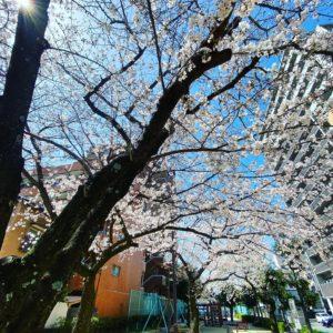 今日(2021/3/23)のサクラ。@松山市幸町公園住宅にの中にある小さな公園の桜はすでに満開!です。#松山市 #桜 #サクラ #満開 #満開の桜 #公園 #青空