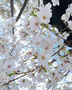 今日(2021/3/25)の桜。@松山市コミュニティセンター朝の雨が何だったの?というぐらいの、青空が広がっているお昼。桜の花は、やっぱり青空がよく映えますねぇ。#桜 #サクラ #松山市 #青空 #満開