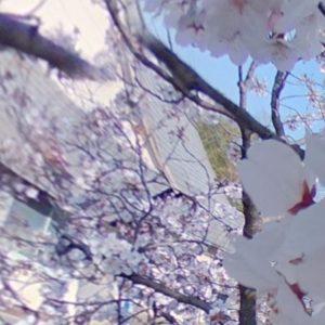 今日(2021/3/26)の桜。@東温市隻手薬師にて。全天球カメラで撮影した写真を切り出したパノラマ写真をさらに分割して複数枚写真にしたの図。右にフリックすれば連続で見えるはず、です。風も穏やかでいい天気です。明日も晴れるといいな。#さくら #桜 #サクラ #東温市 #隻手薬師 #青空 #theta #パノラマ