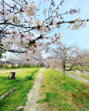 今日(20210329)のサクラ。@松山市石手川緑地公園南側昨日の雨風に耐えて、まだ満開を保っています。少し散ってしまった花もあるけれど、数日はきれいな姿が楽しめそう。そして、今週末はまた雨予報…。#サクラ #桜 #満開 #松山市 #石手川公園