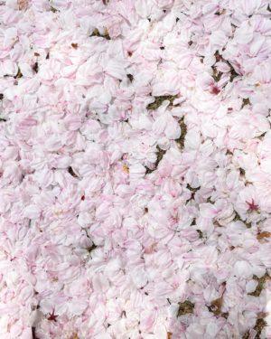 今日(20210330)のサクラ。@松山市幸町公園#松山市 #サクラ #桜 #花びら #花片 #花弁