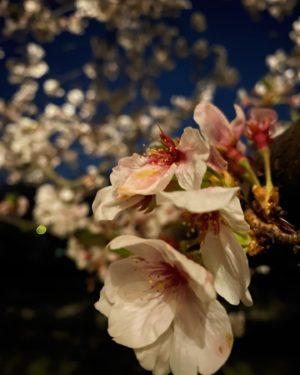 今日(20210401)の桜。@石手川緑地公園街灯に照らされた夜桜を、ナイトモードで長時間露光。散り始めた花弁もいとおかし。土曜日まで楽しめそうで良かったねぇ。#桜 #サクラ #夜桜 #夜桜ライトアップ #松山市 #石手川公園 #ナイトモード #iphone11