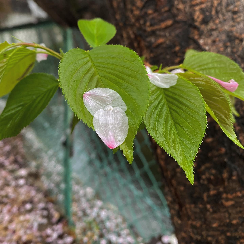 今日(20210404)の桜。@松山市朝から降り続く雨。時に烈しく時に穏やかに。残念ながら無情の雨粒が満開の桜の花弁を落としてゆく。水に打たれて舞い落ちた花びらの姿もいとおかし。#松山市 #桜 #サクラ #雨 #花弁 #花びら #無情の雨 #散りゆく桜 #花見もそろそろ終わりかな