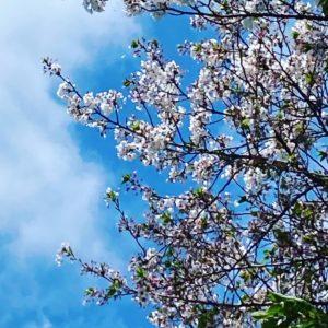 今日(20210405)の桜。@松山市幸町公園昨日の雨に加えて今日は強風。咲いているサクラを探す方が難しくなりました。ご、樹の上の方はまだ健在。しかし、時折吹く風にあおられ、花びらが舞いとびます。今年のサクラもそろそろ見納め、ですね。#松山市 #サクラ #桜 #青空 #舞う花びら