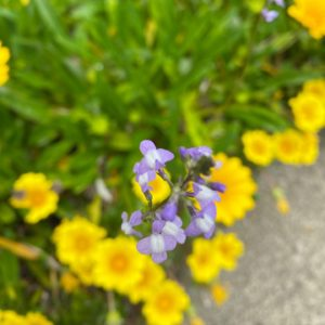 名もなき花(というか、私が名前を知らないだけ)